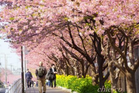 河津桜~三浦海岸~ 022