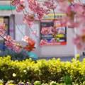写真: 河津桜~三浦海岸~ 021