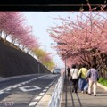 写真: 河津桜~三浦海岸~ 023