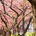 写真: 河津桜~三浦海岸~ 025