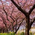 写真: 河津桜~三浦海岸~ 026