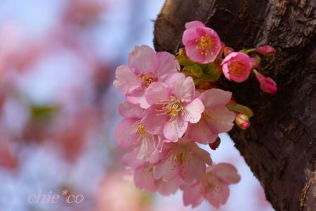 河津桜~三浦海岸~ 032