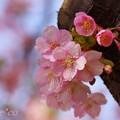 写真: 河津桜~三浦海岸~ 032