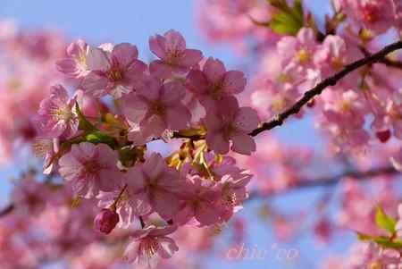 河津桜~三浦海岸~ 028