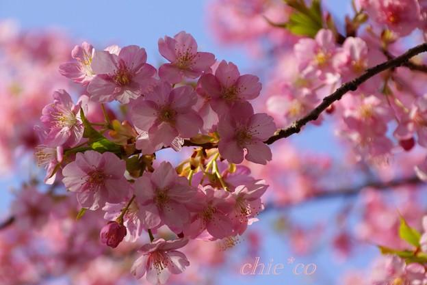 写真: 河津桜~三浦海岸~ 028