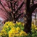 写真: 河津桜~三浦海岸~ 033