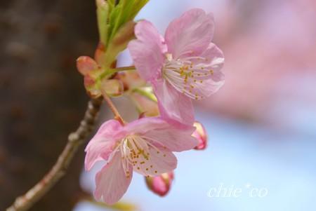 河津桜~三浦海岸~ 035