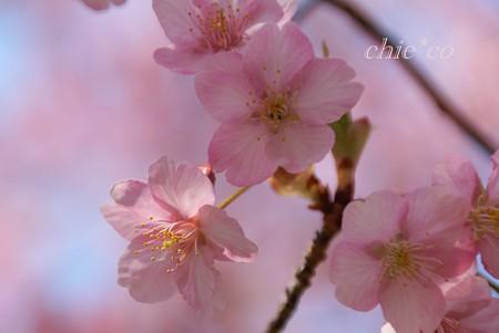 河津桜~三浦海岸~ 038