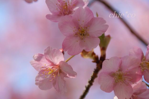 写真: 河津桜~三浦海岸~ 038