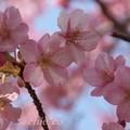 写真: 河津桜~三浦海岸~ 037
