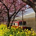 写真: 河津桜~三浦海岸~ 047