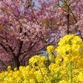 写真: 河津桜~三浦海岸~ 055