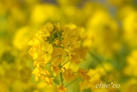 河津桜~三浦海岸~ 056