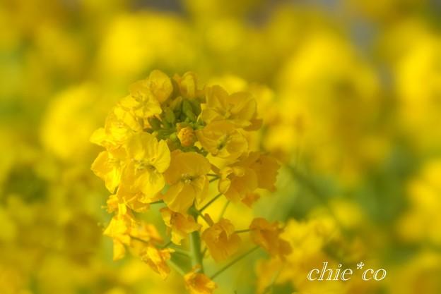 写真: 河津桜~三浦海岸~ 056