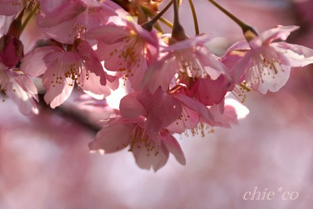 河津桜~三浦海岸~ 090