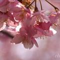 写真: 河津桜~三浦海岸~ 090