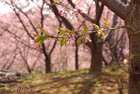 桜色に染めて・・