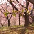 写真: 桜色に染めて・・