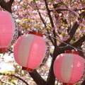 写真: 河津桜~三浦海岸~ 093