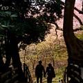 写真: 桜彩の径・・