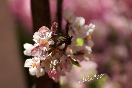 クリスタルの桜彩..4