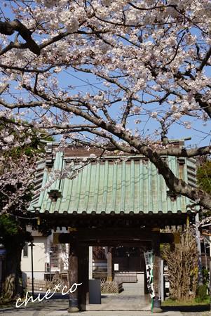 桜彩の妙隆寺・・