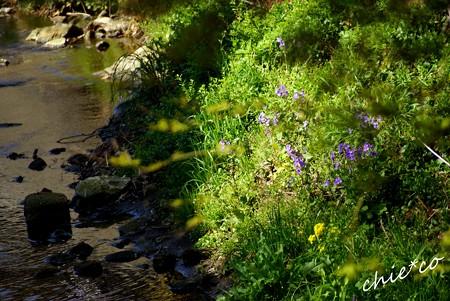 ハナダイコン咲く川辺・・