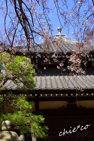 桜彩の本覚寺..2