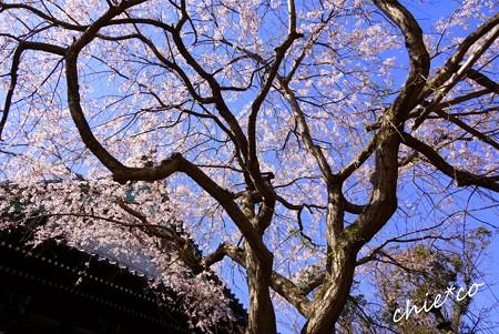 桜彩の本覚寺..4