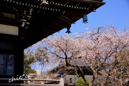 桜彩の本覚寺..6