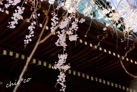 桜彩の本覚寺..7