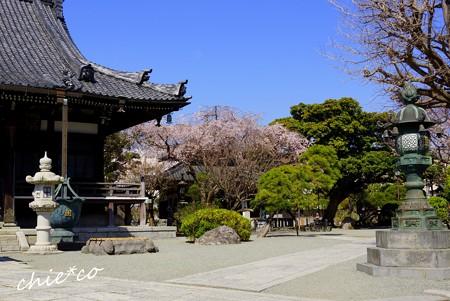 桜彩の本覚寺..8