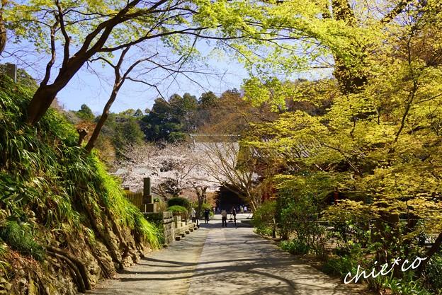 桜彩の妙本寺..6