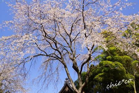桜彩の安国論寺..11