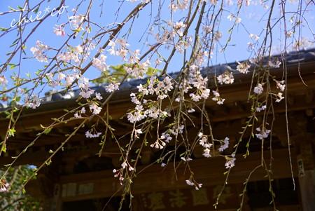 桜彩の安国論寺..23