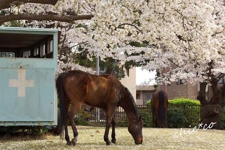 桜の樹の下で・・