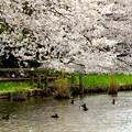 写真: 桜 Yokohama 127