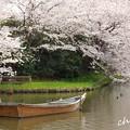 写真: 桜 Yokohama 131