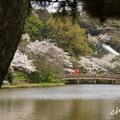 写真: 桜 Yokohama 135
