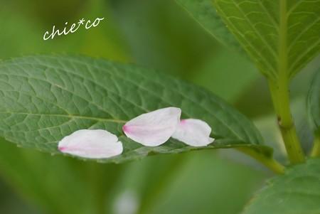 小さな贈り物・・桜より・・紫陽花へ・・