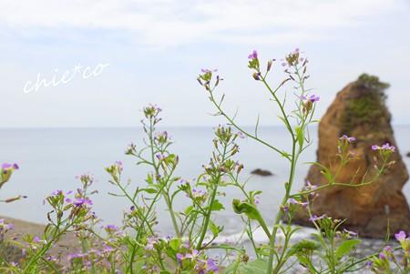 ハマダイコン咲く海辺・・1