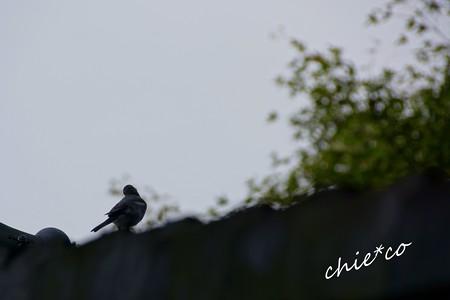屋根でさえずる小鳥・・