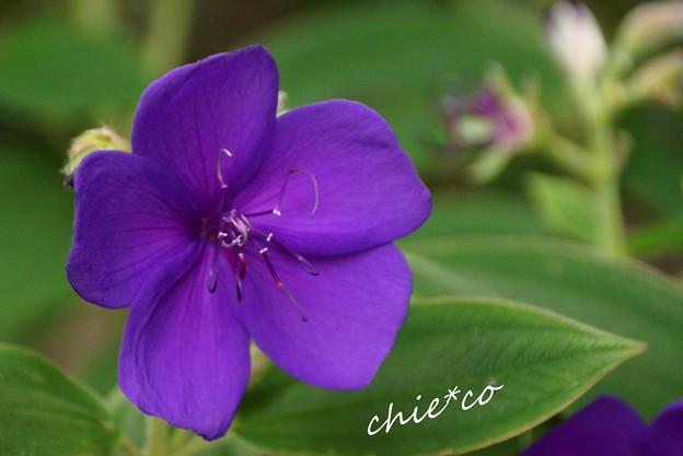 紫紺野牡丹・・