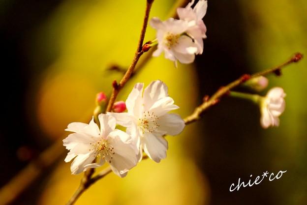 十月桜~1