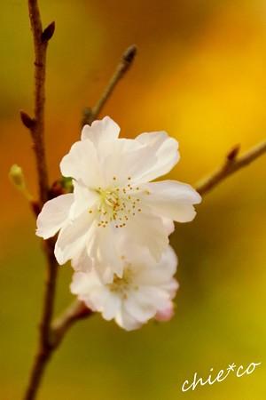 十月桜~2