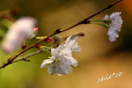 十月桜~3