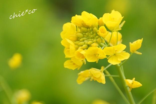 写真: 菜の花いろ in green..