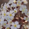 写真: 桜草(かんざくら)・・