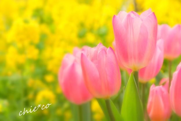 ピンクのチューリップ・・
