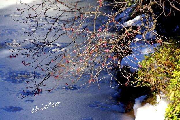 紅梅と雪と・・白鷺池(びゃくろち)